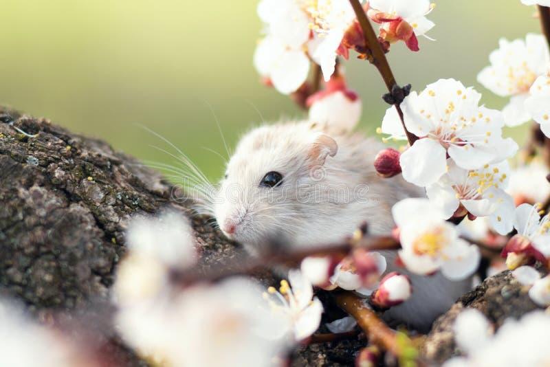 Chomik na drzewie wśród kwiecenie gałąź zdjęcie royalty free