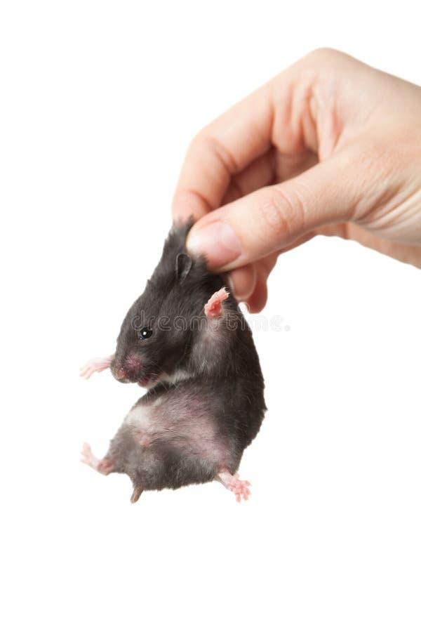 Chomik w ręce Chomikowy chwyt scruff zdjęcie stock