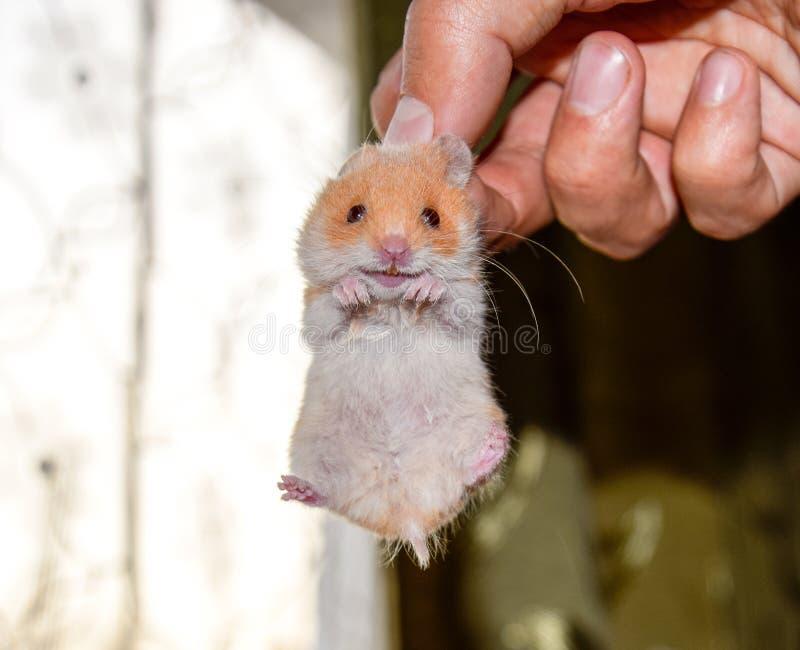 Chomik w ręce Chomikowy chwyt scruff Chomik trzymający z palcami obrazy stock