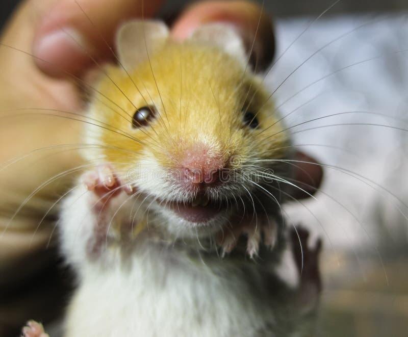 Chomik w ręce Chomikowy chwyt scruff Chomik trzymający z palcami fotografia stock