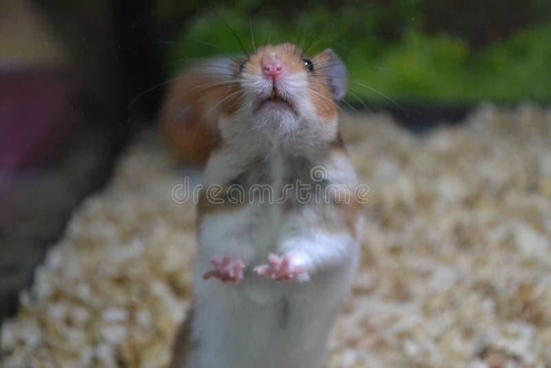 Chomik w szklanym zwierzę domowe sklepie zdjęcia royalty free
