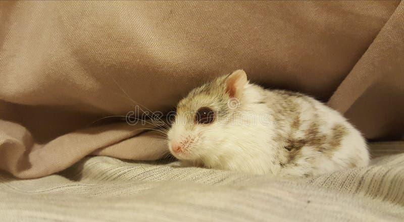 Chomikowa zwierzęca śliczna chuje poduszka zdjęcia stock
