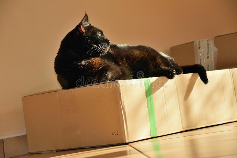 Chomutov, republika czech - Wrzesień 30, 2018: czarny kot Violka odpoczywa na pudełku zdjęcia stock