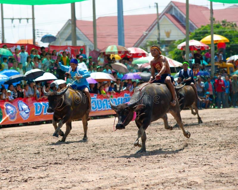 chonburi bawolie rasy obraz stock