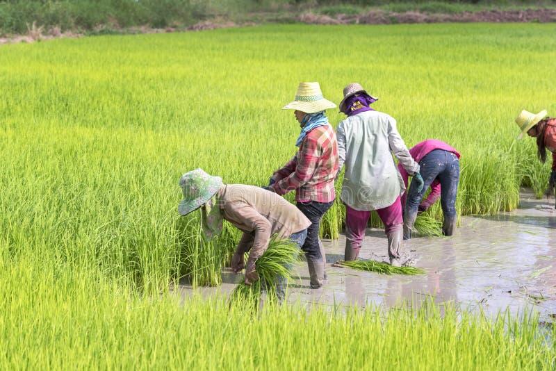 Chonburi, Tailandia, il 9 settembre 2016: Colle dell'agricoltore della Tailandia immagini stock libere da diritti
