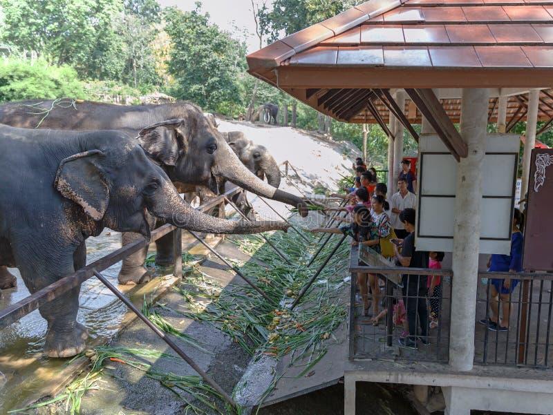Chonburi/Thailand - April 15 2018: Jongeren die aan olifants` s boomstam voeden in de Open Dierentuin van Khao Kheow royalty-vrije stock afbeeldingen