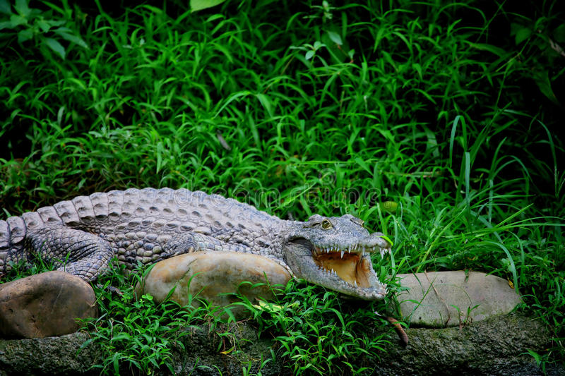 Download Chongqing Crocodile Center Of The Alligator Royalty Free Stock Photos - Image: 12090098