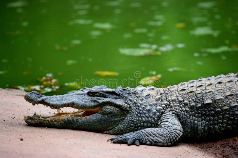 Chongqing-Krokodilmitte des Krokodils lizenzfreie stockfotos