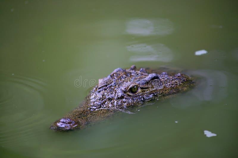 Download Chongqing Water Crocodile Alligator Center Stock Photo - Image: 12089986