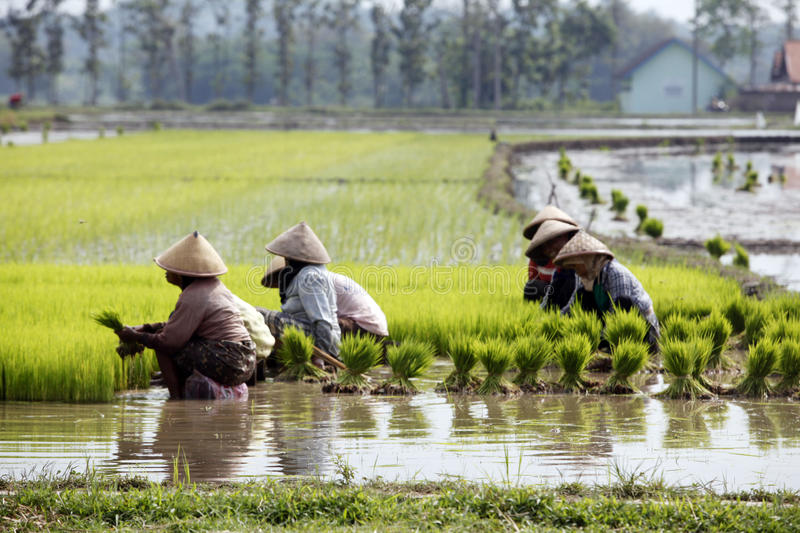 Choose rice seedlings. Farmers chose to plant rice seedlings in paddy fields in Boyolali, Central Java, Indonesia stock photography