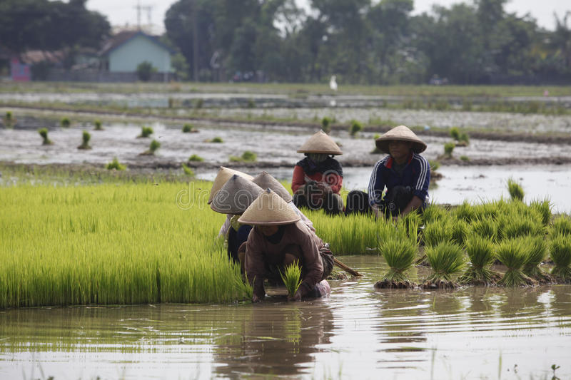 Choose rice seedlings. Farmers chose to plant rice seedlings in paddy fields in Boyolali, Central Java, Indonesia royalty free stock photography