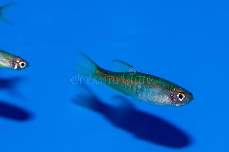 Choprai van Glowlightdanio stock afbeeldingen