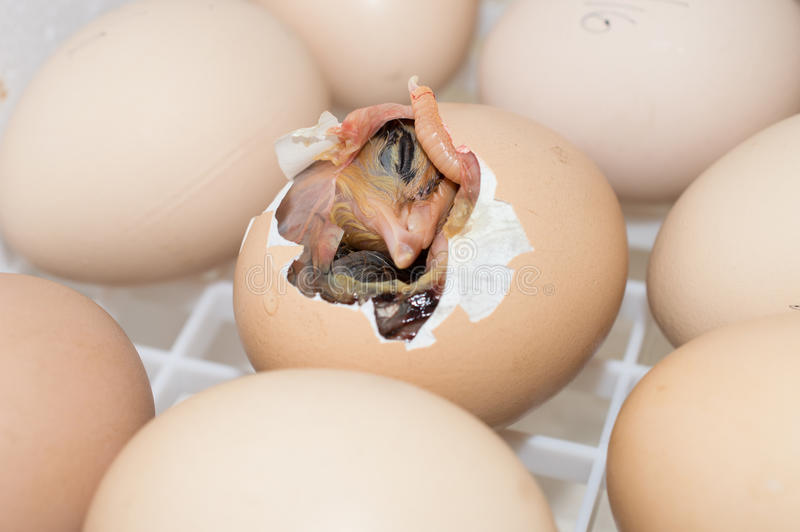 Choque do pássaro de bebê foto de stock royalty free