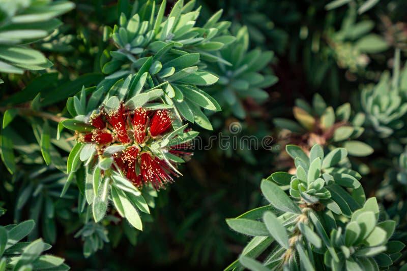 Chorando a florescência vermelha das flores do bottlebrush imagens de stock