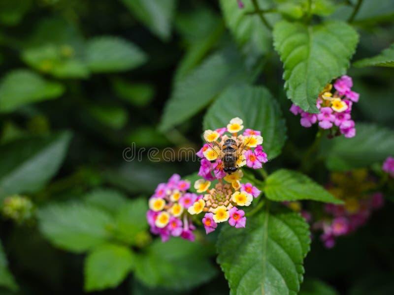 Chorando o Lantana, camara do Lantana cultivado como a planta rica da abelha do néctar do mel fotografia de stock