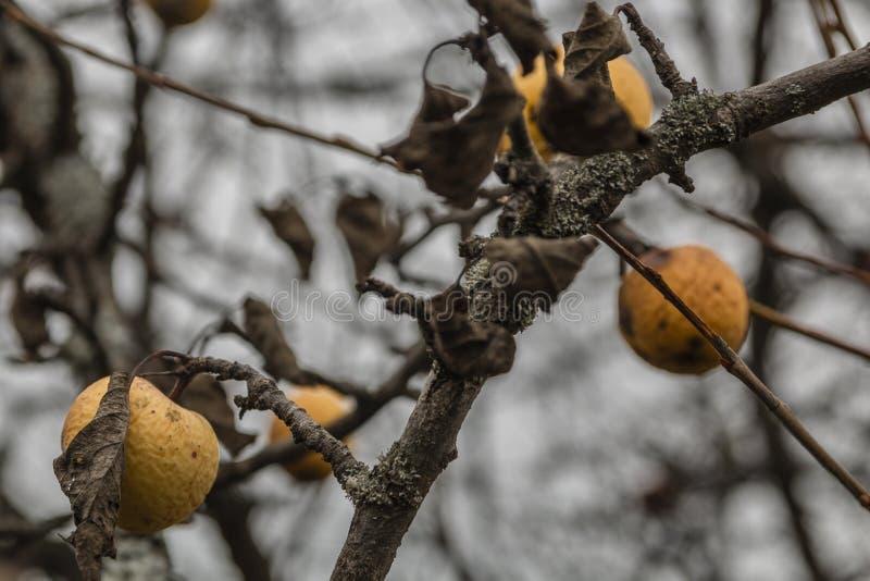 Chore gałąź jabłoń, zbliżenie Rosja zdjęcie stock