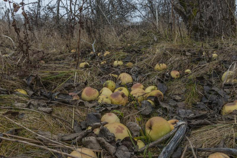 Chore gałąź jabłoń, zbliżenie Rosja obraz stock