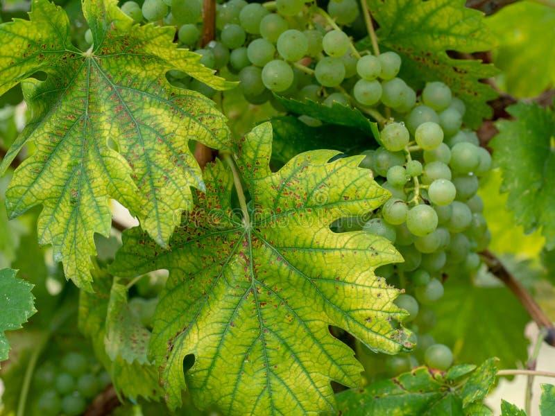 Chore winorośli rośliny Chlorozy i rdzy rolnictwa problem obraz royalty free