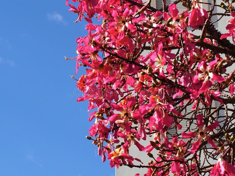 Chorisia Speciosa ou árvore de seda de Floss em Tavira Portugal imagem de stock