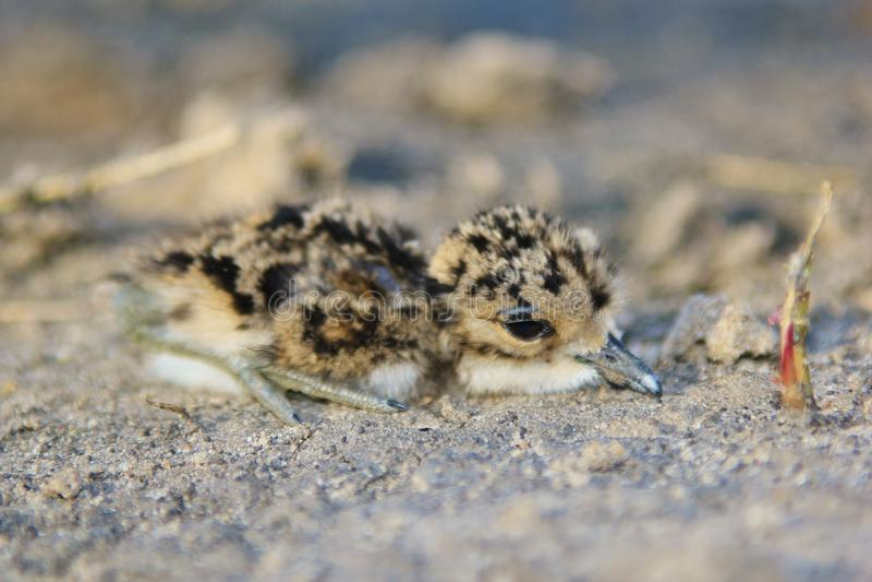 Chorlito del herrero - fondo salvaje africano del pájaro - polluelo camuflado fotografía de archivo