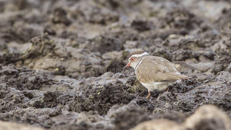 chorlito Tres-congregado en pantano foto de archivo libre de regalías