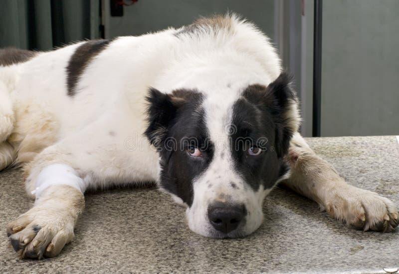 Choroba pies zdjęcie royalty free