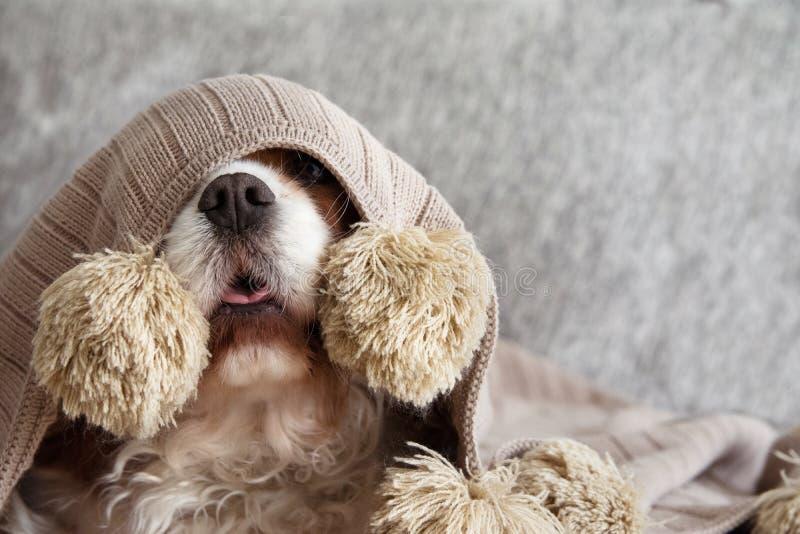 CHOROBY, FIGLARNIE LUB STRASZĄCEGO kawalera psa szczeniak ZAKRYWAJĄCY Z CIEPŁĄ kitki koc NA kanapie, obrazy stock