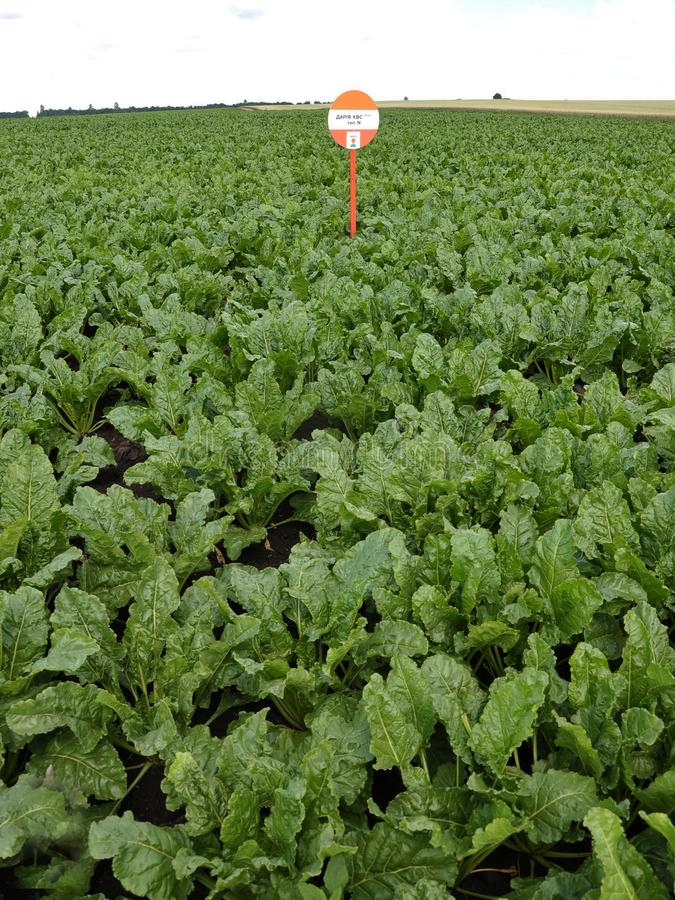 On the experimental field of sugar beet cropping. Chortkiv - Ternopil - Ukraine - July 2, 2015. Cultivation of sugar beet on the experimental field of the stock image