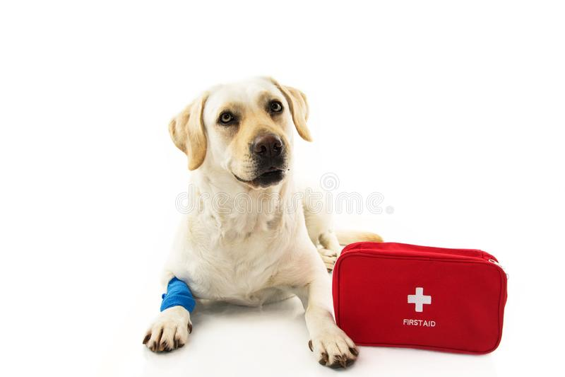 CHORY LUB ZDRADZONY pies LABRADORA ŁGARSKI puszek Z BŁĘKITNYM bandażem, ELASTYCZNYM bandaż, FIRT pomocy zestaw LUB nagły wypadek  fotografia stock