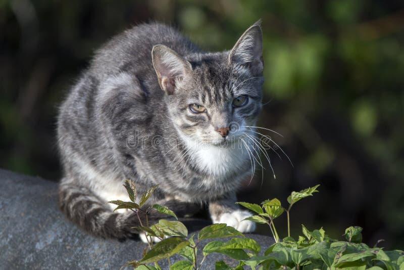 Chory zdziczały domowy stajnia kot obraz stock