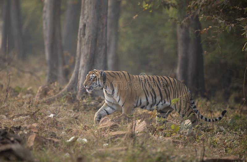Choti Тара tigress с radiocollar на запасе тигра Tadoba Andhari, Chandrapur, махарастре, Индии стоковые изображения