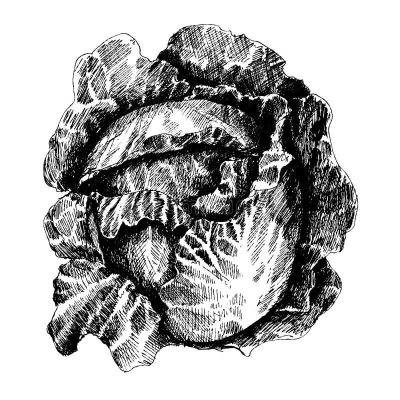 Chou avec des feuilles, chef de chou, moitié de chou illustration de vecteur