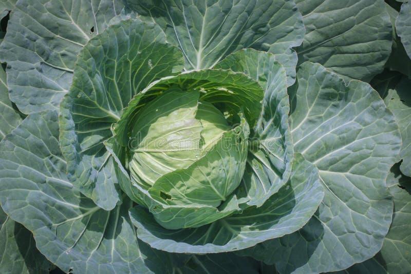 chou commun frais dans le Ba organique végétal de ferme photos libres de droits