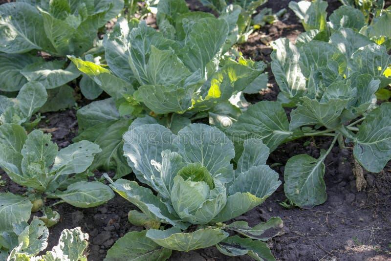 Chou commun frais en gros plan à l'arrière-plan organique végétal de champ de ferme photographie stock libre de droits