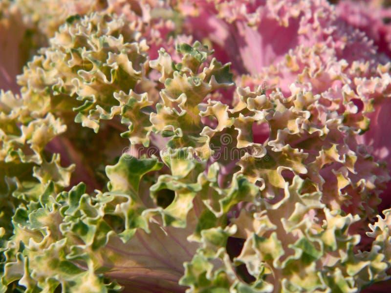 Chou-fleur image libre de droits