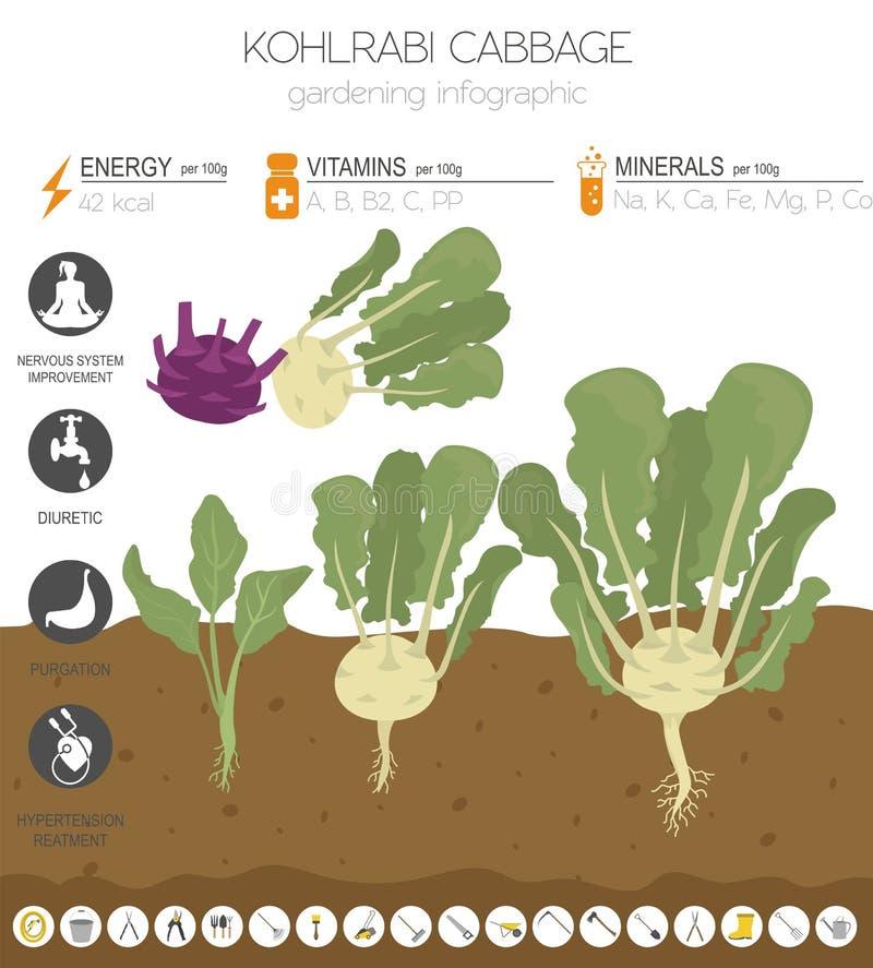 Chou-rave, calibre graphique de caractéristiques salutaires de navet de chou Jardinage, agriculture infographic, comment il se dé illustration stock