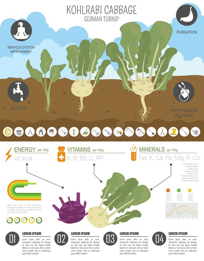 Chou-rave, calibre graphique de caractéristiques salutaires de navet de chou Jardinage, agriculture infographic, comment il se dé illustration de vecteur