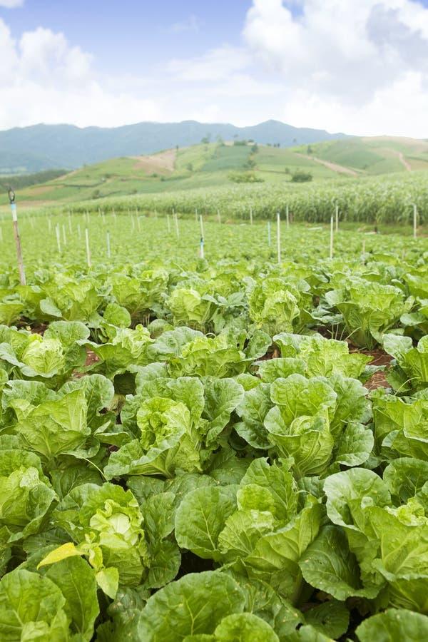 Chou sur une zone d'agriculture image stock