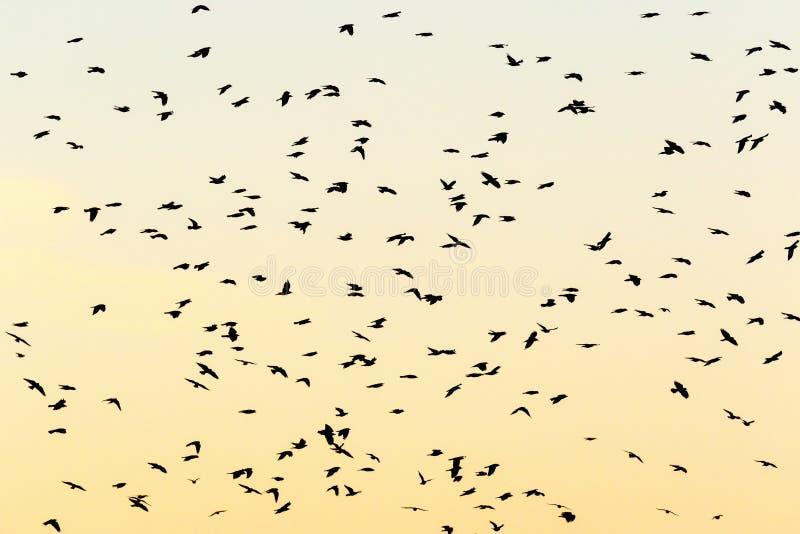 Choucas de vol en silhouettes photo stock