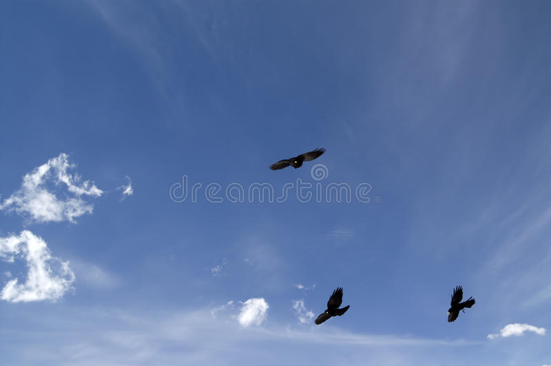 Chough alpestre (graculus de Pyrrhocorax) photo stock