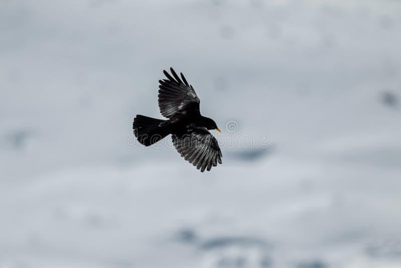 Chough alpino fotografie stock libere da diritti