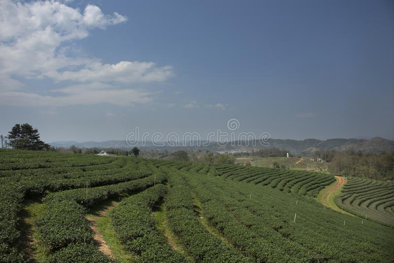 Choui Fong 1,000多rais茶园区域风景在土井美斯乐高山的在清莱,泰国Maechan  免版税库存图片