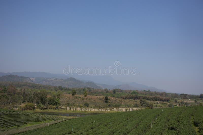 Choui Fong 1,000多rais茶园区域风景在土井美斯乐高山的在清莱,泰国Maechan  库存照片
