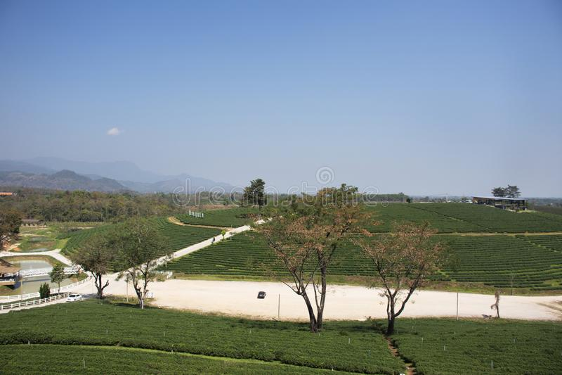 Choui Fong 1,000多rais茶园区域风景在土井美斯乐高山的在清莱,泰国Maechan  图库摄影