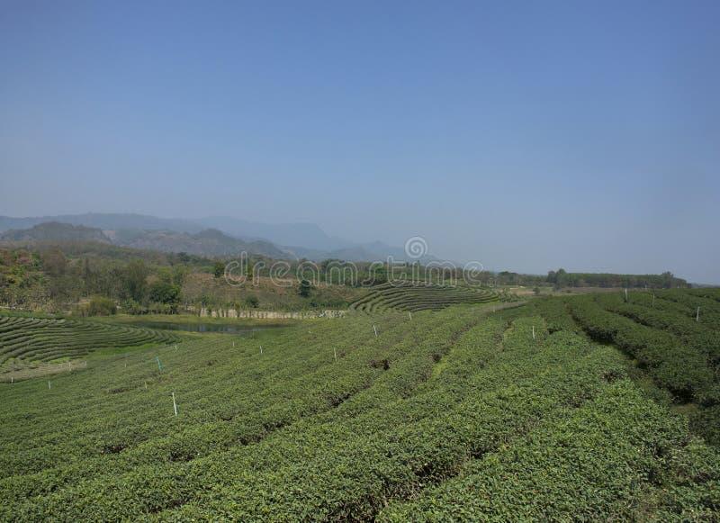 Choui Fong 1,000多rais茶园区域风景在土井美斯乐高山的在清莱,泰国Maechan  免版税库存照片