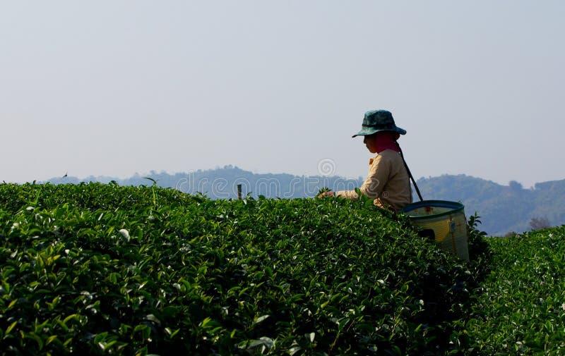 Choui Fong Tea Picker imagens de stock royalty free