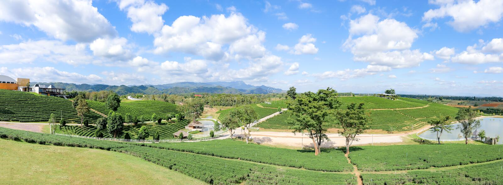 Choui Fong tea plantation and blue sky and white clouds at   Chiangrai with panorama or panoramic view. royalty free stock photo