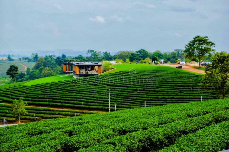 Choui Fong Tea Plantation, Chiang Rai, Thailand stockbild