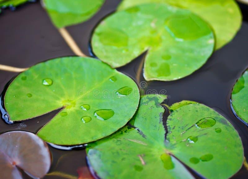 Chova gotas nas folhas da água lilly foto de stock