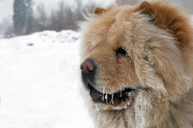 chow πορτρέτο σκυλιών στοκ φωτογραφίες με δικαίωμα ελεύθερης χρήσης